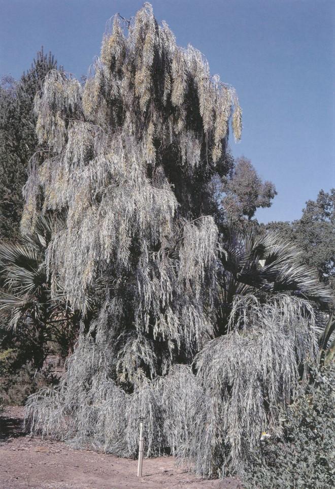 Weeping acacia (Acacia pendula). Photograph by RGT