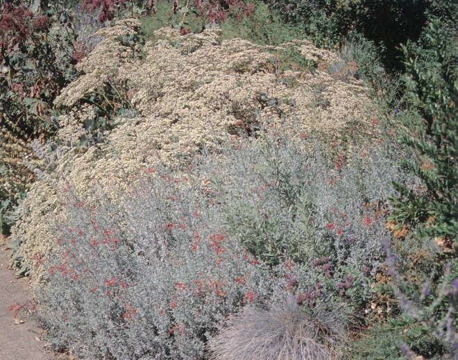 A silvery-leafed California fuchsia (Epilobium canum) appeals to hummingbirds with its scarlet, nectar-filled flowers, while the tawny white flowers of wild buckwheat (Eriogonum) feed butterflies and beneficial insects
