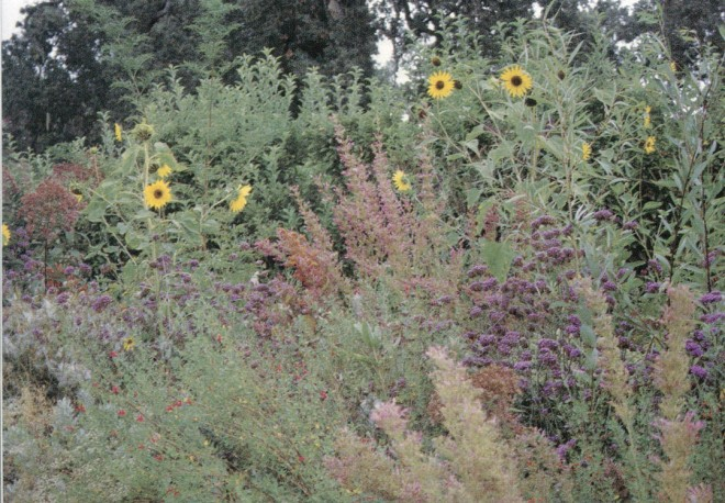 Early fall in the Fetzer Vineyards' habitat border, with salvias, verbenas, agastaches, and sunflowers offering food for birds, butterflies, and beneficial insects