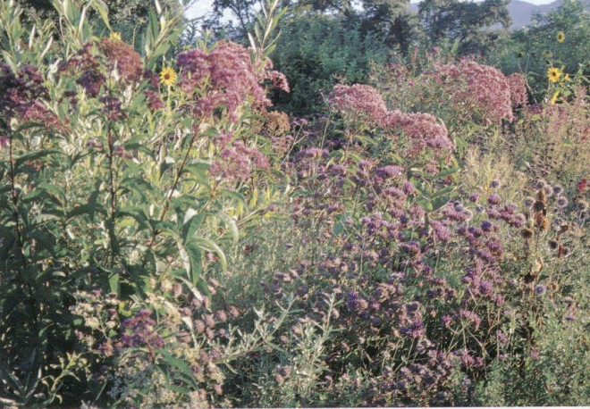 The large heads of small, nectar-filled flowers on Joe Pye weed (Eupatorium purpureum) provide food for butterflies and tiny beneficial insects