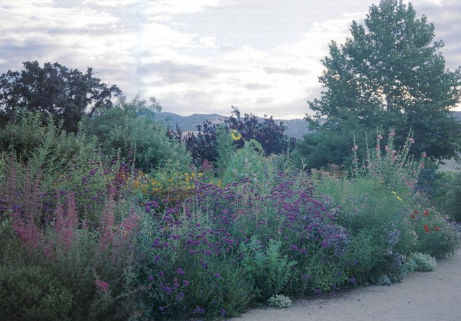 Evening in one of the habitat borders at Fetzer Vineyards, with a selection of salvias and verbenas in full flower, providing nectar for hummingbirds, butterflies, and beneficial insects