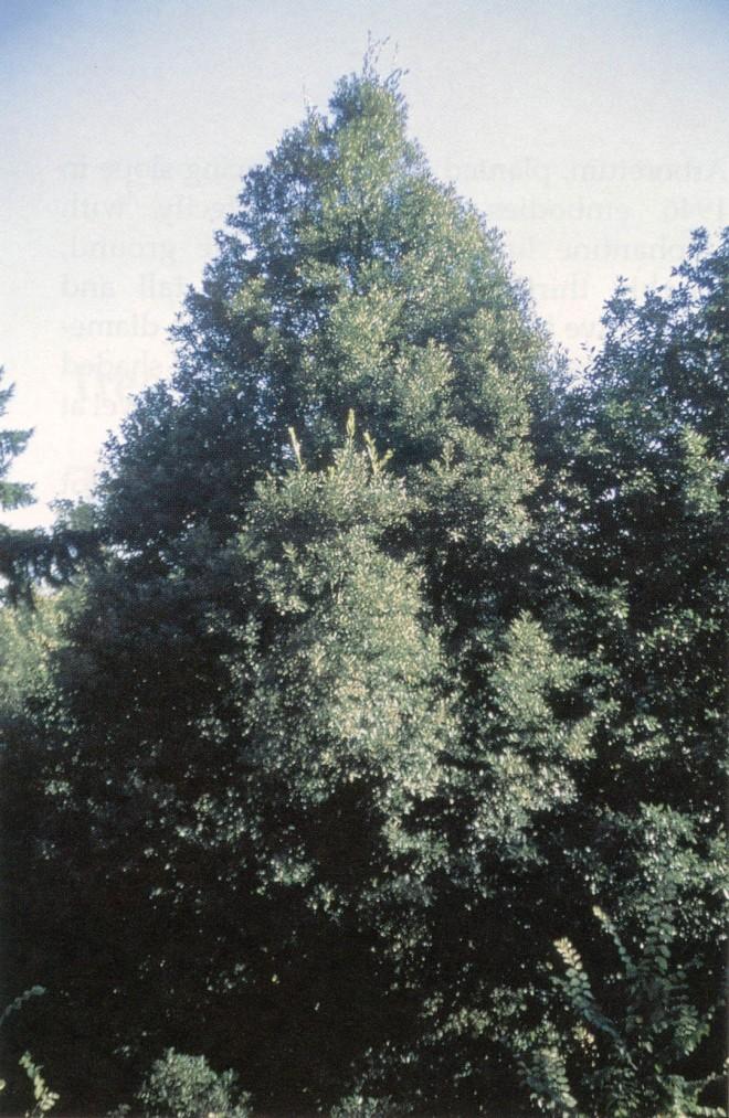 Tanoak (Lithocarpus densiflorus) in Hoyt Arboretum, Portland. Photograph by Sean Hogan