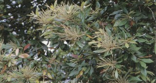 Foliage and developing catkins of tanoak (Lithocarpus densiflorus). Photograph by RGT