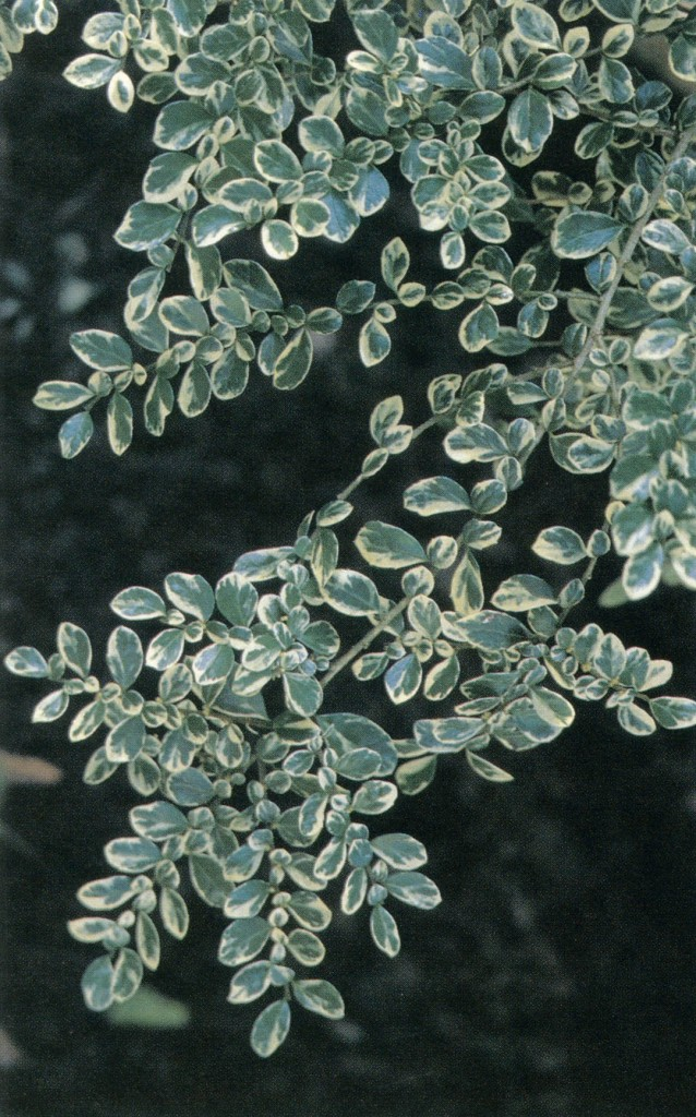 Clean variegation highlights the lacy foliage of Azara microphylla 'Variegata'