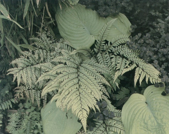 Painted fern (Athyrium otophorum) with Hosta 'Abiqua Recluse' and a bit of Euphorbia dulcis 'Chameleon' in the author's garden. Author's photographs