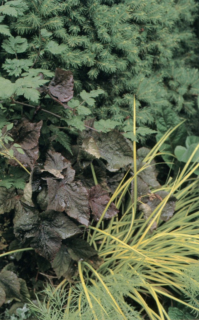 Purple leaves of Cryptotaenia purpurea contrast with linear, golden leaves of Acorus gramineus 'Ogon'