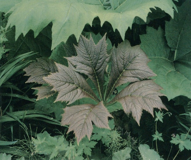 Bold and bronzy new leaves of Rodgersia podophylla with even larger leaves of an ornamental rhubarb (Rheum) behind