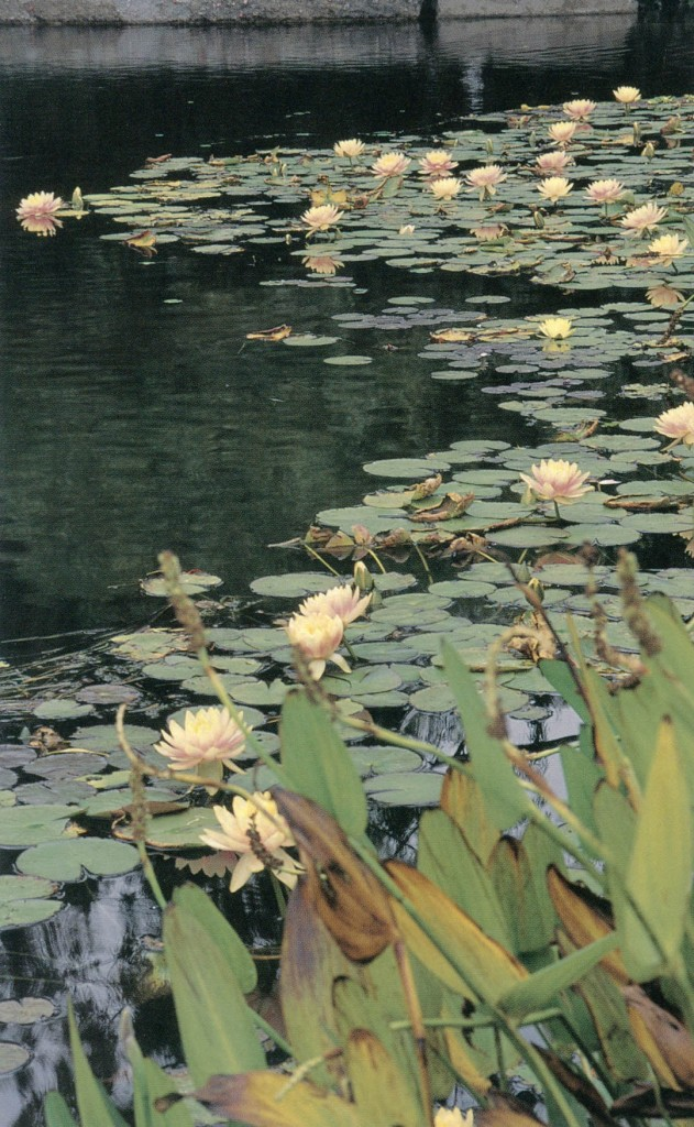 In the strongest reference to Giverny, water lilies (Nymphaea hybrids) float en masse at the pond's edge