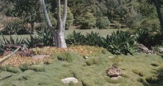 View from the dinning terrace across zoysia grass (Zoysia tenuifolia), aeoniums, and agaves to native coast live oaks (Quercus agrifolia)