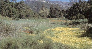 The Meadow, circa 2000, planted to a variety of grasses, sedges, and wildflowers. A large patch of meadowfoam (Limnanthes douglasii) brightens the foreground with Cathedral Peak of the Santa Ynez Mountains towering in the background. Photograph by Carol Bornstein