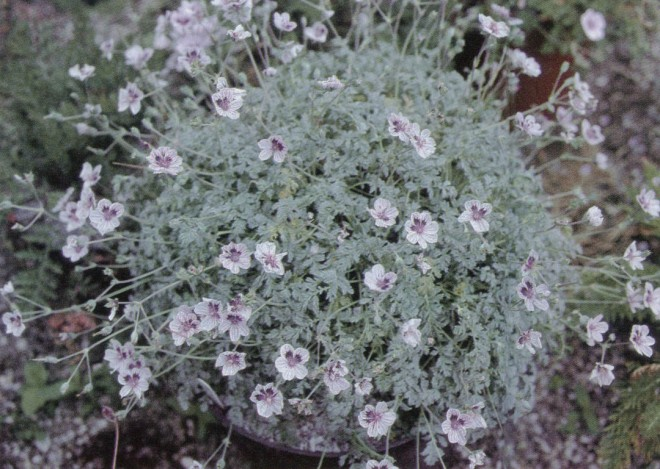 Erodium x kolbianum 'Natasha'