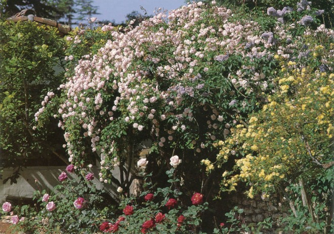 Climbing form of Rosa 'Mlle Cecile Brunner' (climbing polyantha, 1894). The cascading blossoms could be seen from the street in San Jose. Author's photographs, except as noted