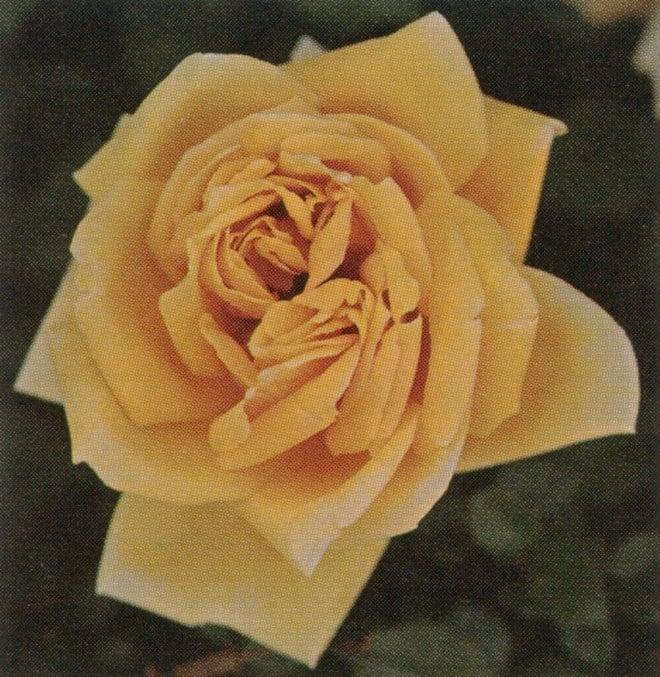 Rosa 'Mrs Pierre du Pont' climbing form (hybrid tea, 1933)