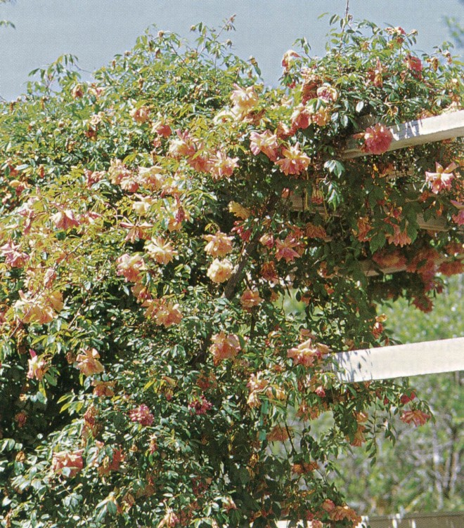 Rosa 'Fortune's Double Yellow' (repeat-flowering old rose, 1845) on a sturdy trellis at the Vallejo House in Sonoma, California