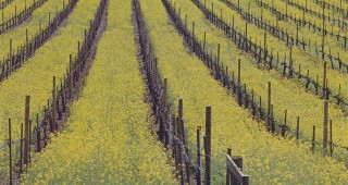 Wild mustard in the vineyards. Photograph by Saxn Holt