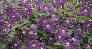 Clematis viticella 'Etoile Violette'. Photograph courtesy of Hedgerows Nursery