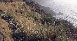 Pampas grass (Cortaderia jubata) covering a disturbed slope along Highway One, north of Ft Bragg, California