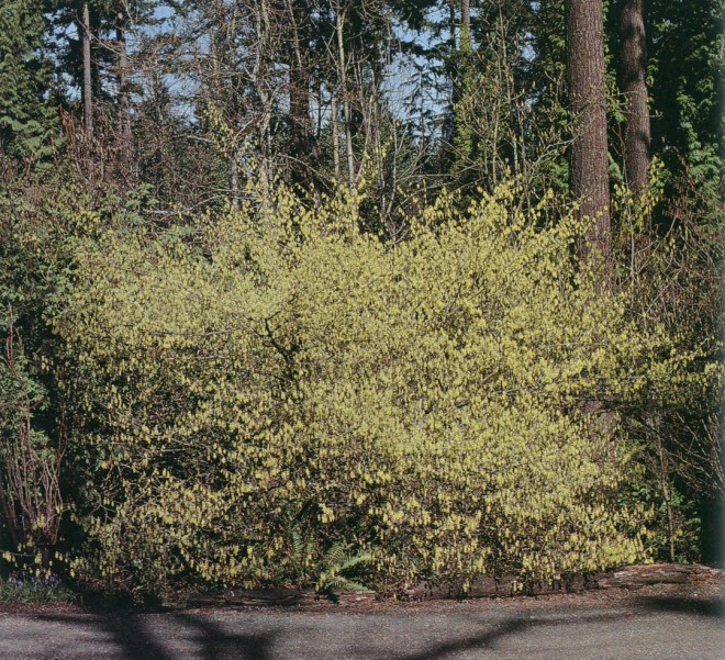 The fragrance of Corylopsis sinensis wafts far beyond its twenty-five-foot spread in early spring. Photograph by Vern Marttala