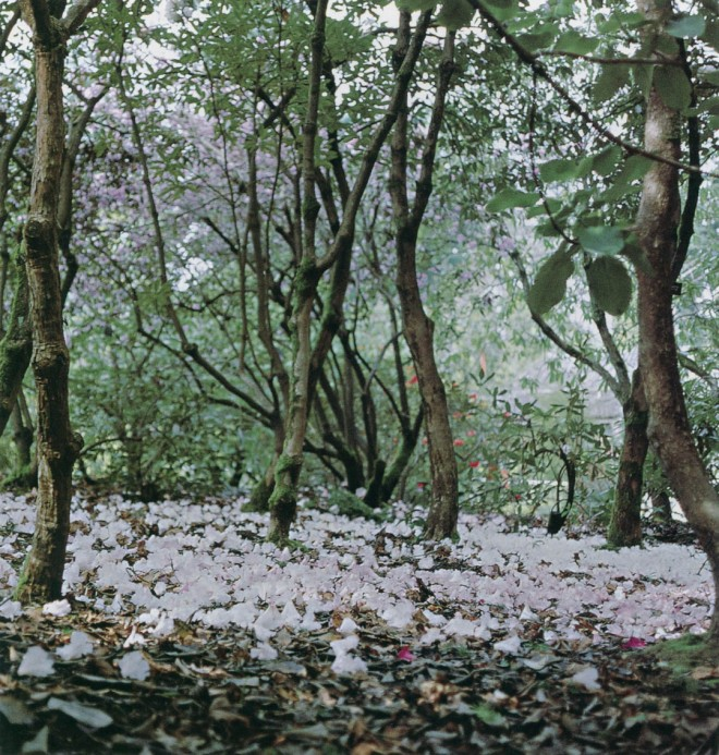 "Fallen blossoms of Rhododendron decorum carpet the ""forest"" floor. Photograph by Julie Kierstead Nelson"
