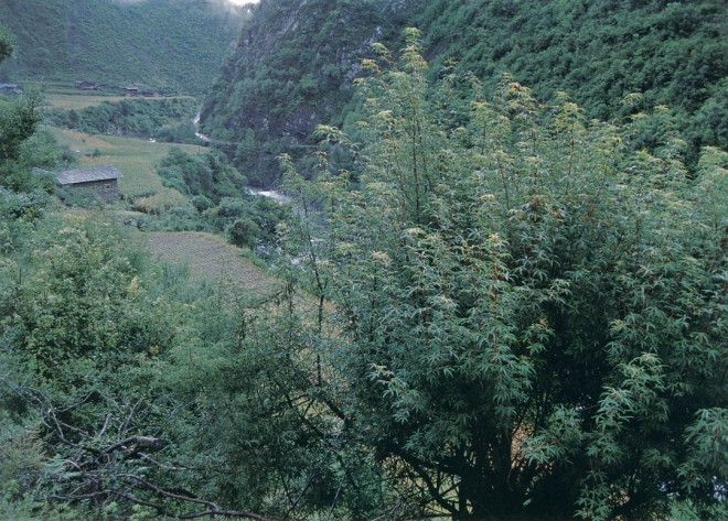 Acer pentaphyllum with small corn fields and exceedingly steep slopes above the Jiulong River. Author's photographs