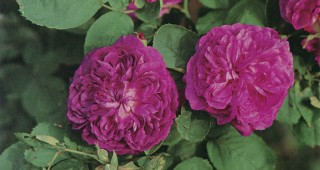 Rosa 'Reine des Violettes'. Photograph by William Grant