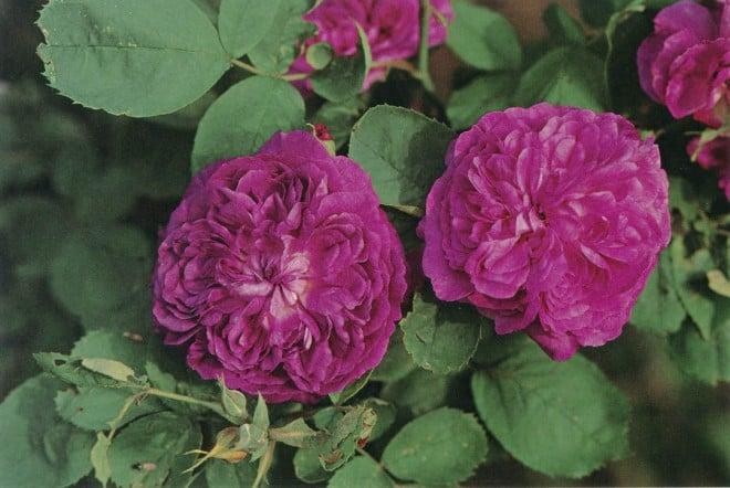 Rosa 'Reine des Violettes'. Photograph by William Grant