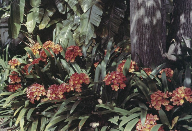 Clivia miniata, one of the many now-familiar species of plants that Franceschi introduced to California. Author's photograph