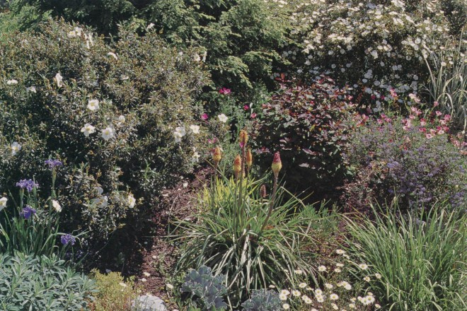 The front garden in late spring with rock roses (Cistus), irises, kniphofia, and pastel California poppies (Eschscholzia californica). Photograph by Lynne Harrison