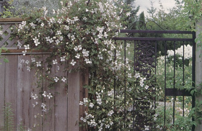 In midsummer, Clematis 'Alba Luxurians' flanks the wrought iron gate into the White Garden. Photograph by Lynne Harrison