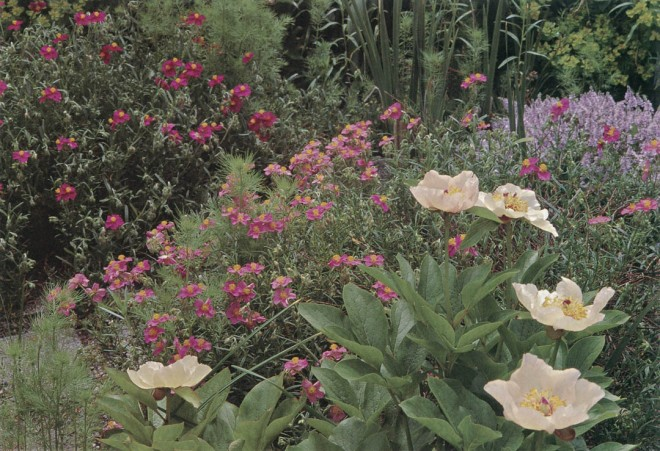 Sunroses (Helianthemum) and a peony (Paeonia) on the double-yew walk. Photograph by Lynne Harrison