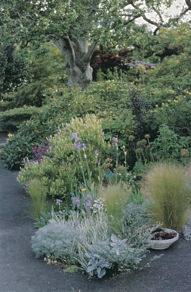 The striped foliage of Iris pallida accents a bed of dusty millers, Artemisia canescens, Lavandula stoechas and L. viridis