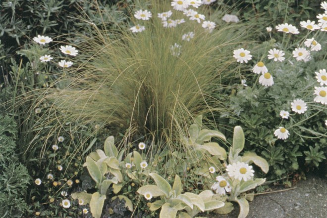 Stipa tenuissima, Stachys byzantina 'Primrose Heron', and Anthemis punctata subsp. cupaniana provide an edging for the driveway bed