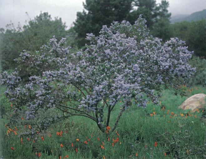 Ceanothus 'Blue Cloud'. Author's photograph