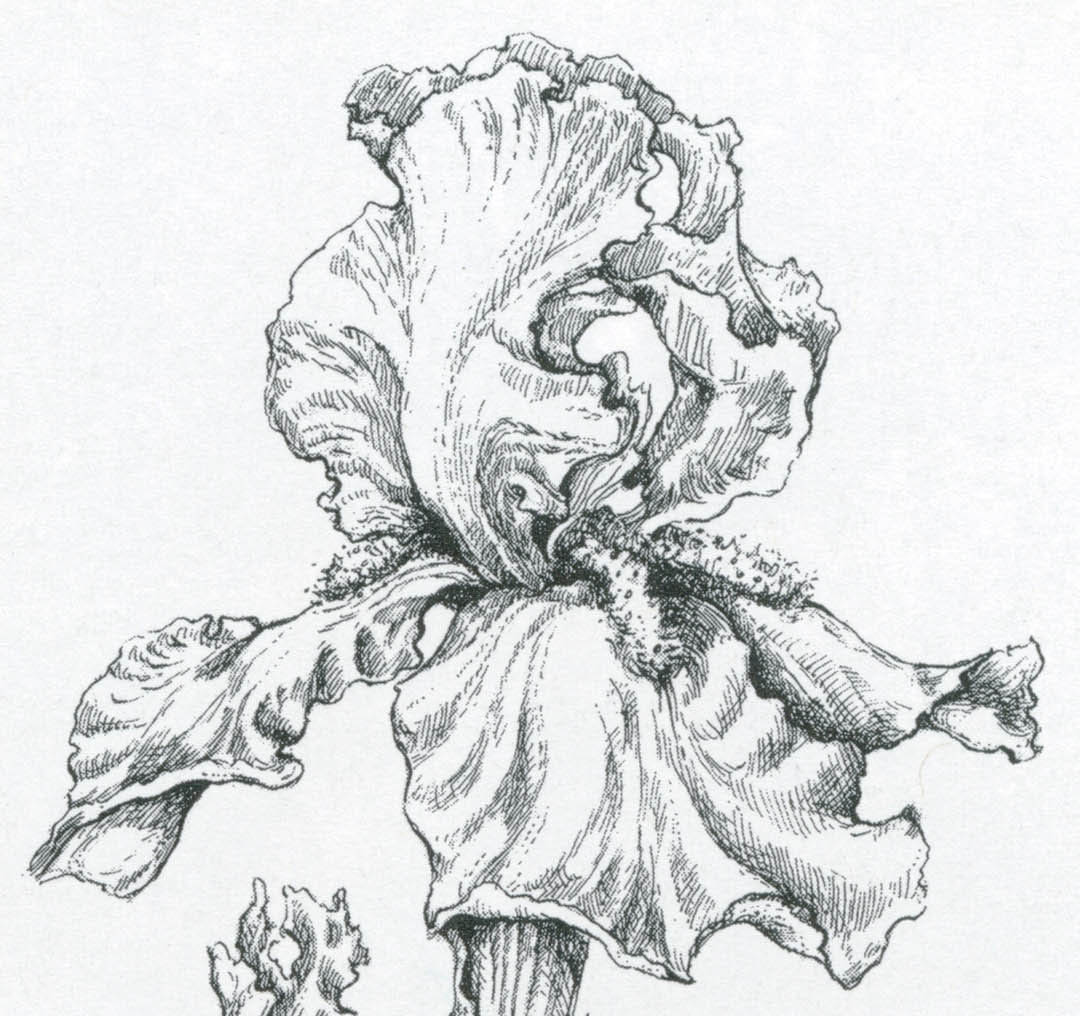 Line Drawing Of Iris Flower : Pacific horticulture society my garden notebook july to