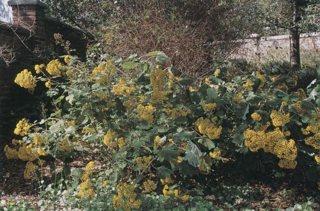 Velvet groundsel (Senecio petasitis)