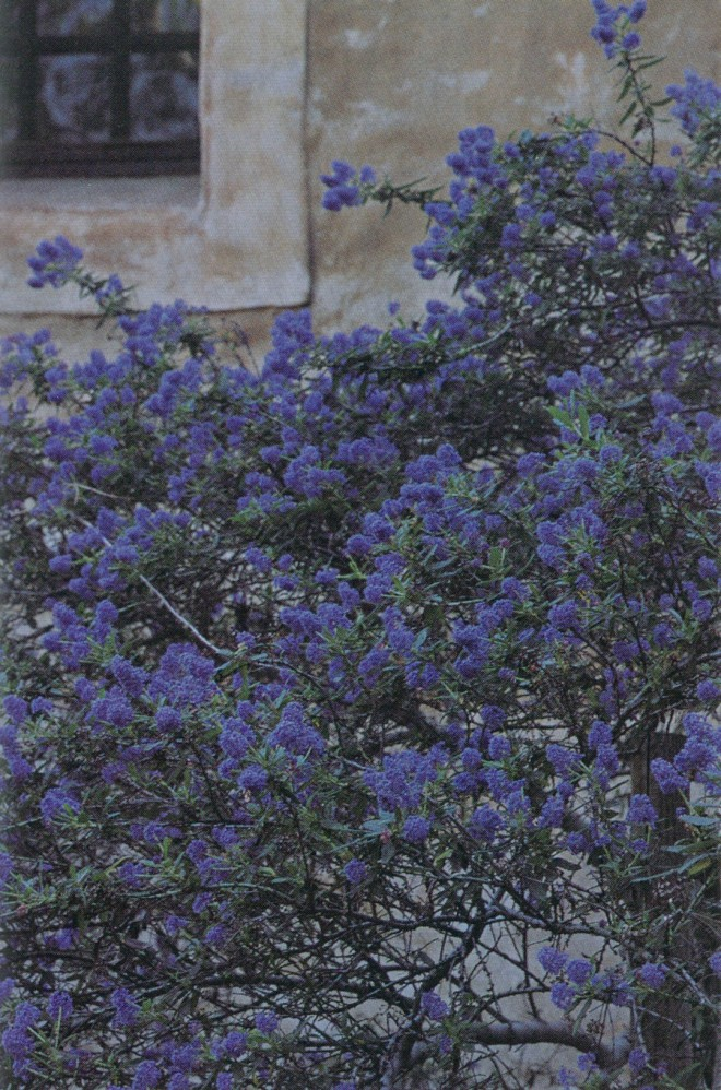 Ceanothus impressus against the wall of The Old Mill