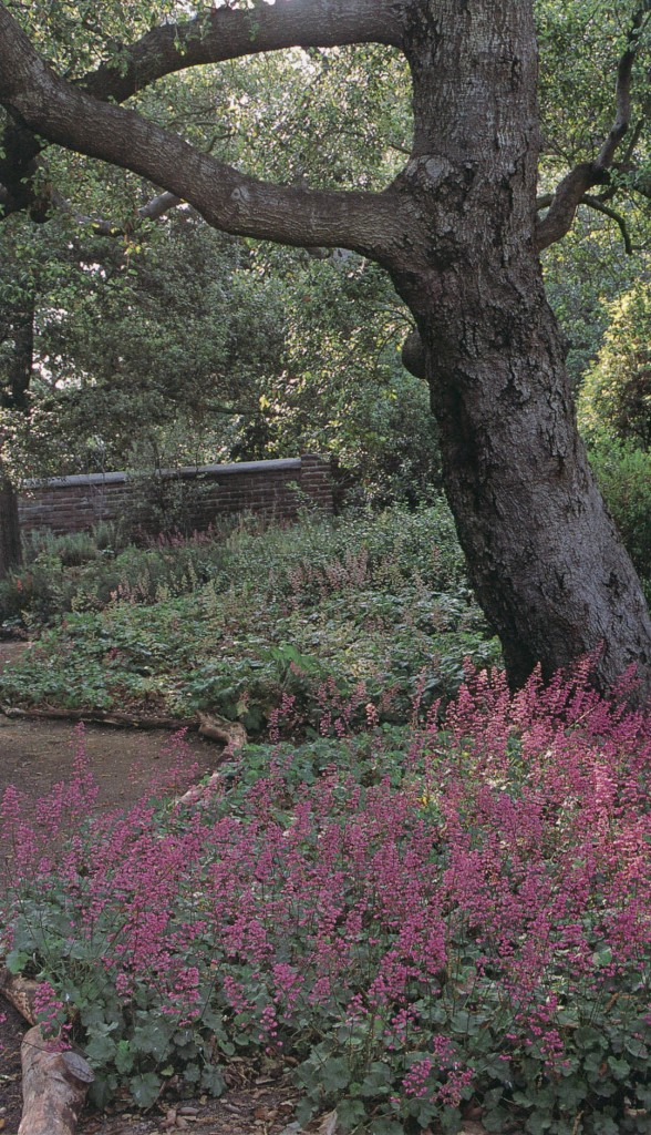 A bed of coral bells (Heuchera sanguineum) in the shade of oaks