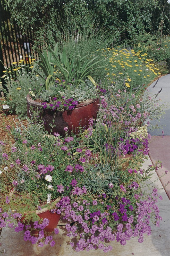 Late spring in the Arboretum Terrace, with containers offering flowering verbena, scabiosa, and Erysimum 'Bowles Mauve'. Photograph by Debbie Aldridge