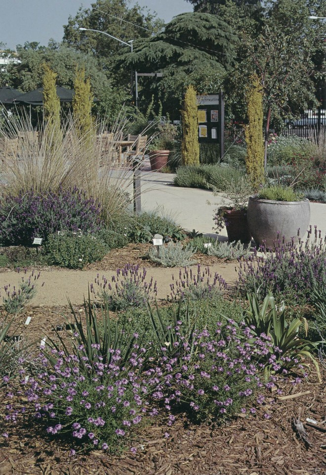 View of Arboretum Terrace in spring with Verbena lilacina 'De la Mina', Spanish lavender (Lavandula stoechas 'Otto Quast', and deer grass (Muhlenbergia rigens); spires of golden Italian cypress (Cupressus sempervirens 'Swane's Gold') march along the main path