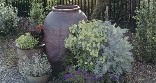 A single, large urn is joined by a cluster of containers filled with (from right) dusty miller (Centaurea cineraria), flowering tobacco (Nicotiana), and verbena; Salvia officinalis 'Tricolor'; and Salvia officinalis 'Icterina' with a brightly colored canna for summer interest