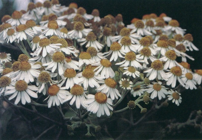 Flowers of giant daisy tree (Podachaenium eminens). Author's photographs