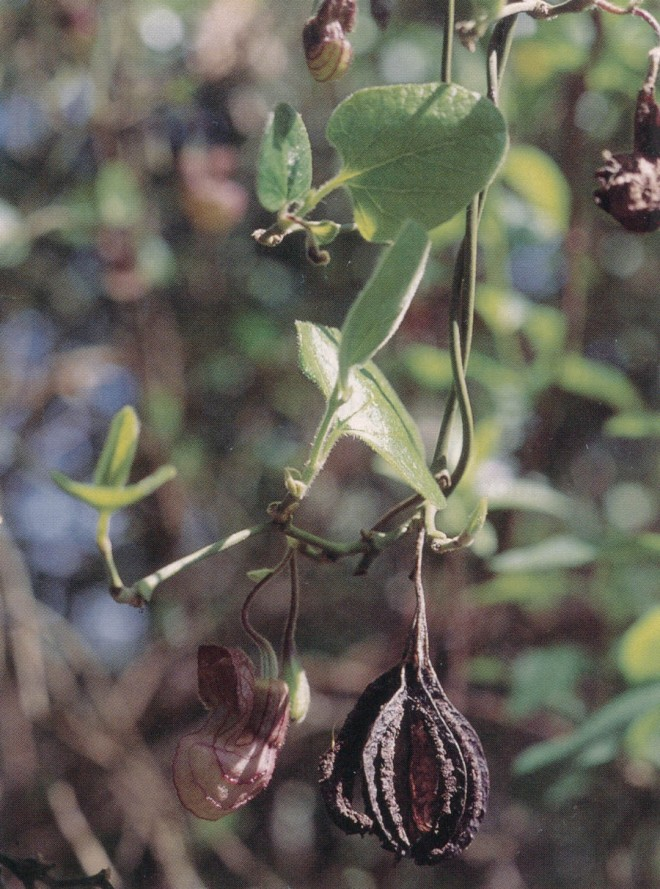 Flower and fruit of California Dutchman's pipevine (Aristolochia californica)