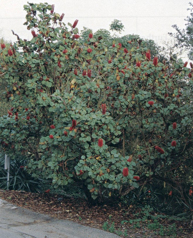 Greyia sutherlandii, a South African tree along the entry drive at Franceschi Park, probably planted by Will Beittel in 1963. Photograph by RGT