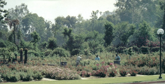 The All-America Rose Selections (AARS) test garden at Rose Hills Memorial Park, shown here, is one of only twenty-two in the United States. Visitors can observe the test roses that are undergoing a two year evaluation (three years for climbing roses). Author's photograph