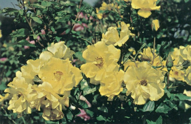 Rosa Golden Holstein, a floribunda, is one of the 400 different selections on display at Rose Hills Memorial Park. Author's photograph