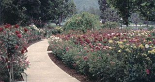 A sweeping walkway curves past broad beds of roses, among the 9,000 rose bushes and climbers in the memorial park; in the distance is a glimpse of the surrounding hills. Photographs by Dr Thomas Cairns, except as noted