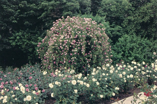 Rosa 'Margot Koster' is one of several seven-foot standards trained to cascade over steel supports to create a dramatic weeping effect; here it is fronted by R. Gourmet Popcorn, a modern miniature rose hybridized by Luis Desamero in 1986