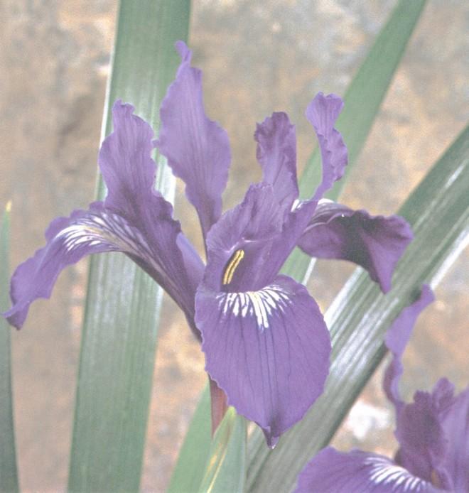 Iris douglasiana 'Pt Reyes'. Author's photograph