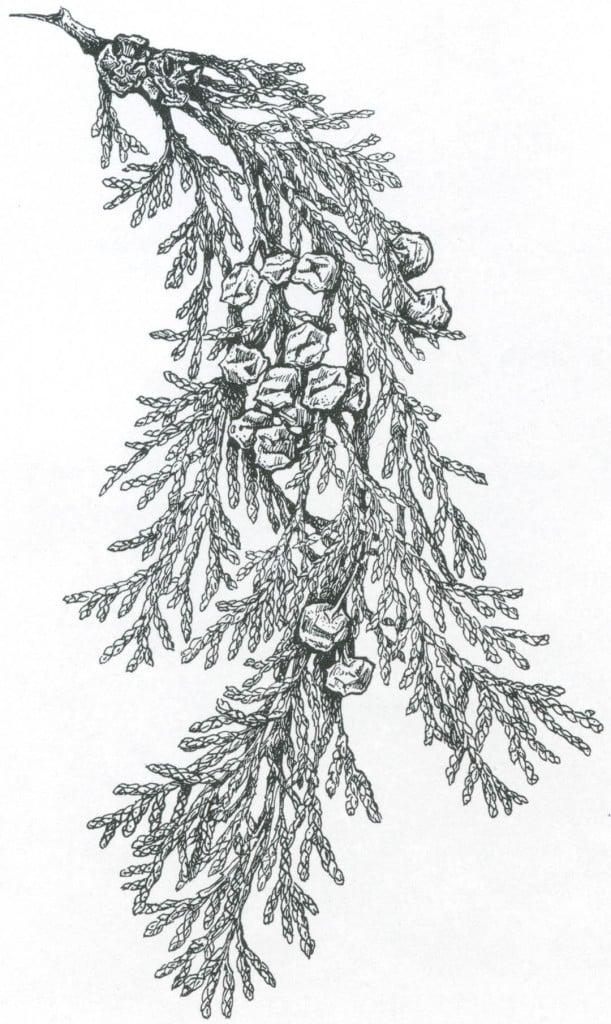 Foliage and cones of Lawson cypress (Chamaecyparis lawsoniana). Drawing by Craig Latker