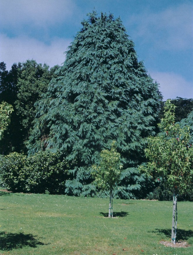 Lawson cypress (Chamaecyparis lawsoniana). Photograph courtesy of the Helen Crocker Russell Library